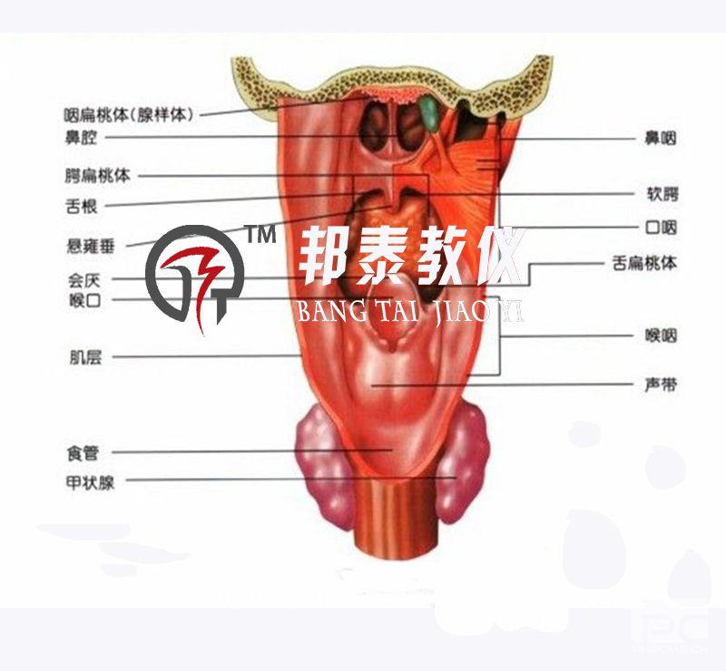 讲授喉的解剖结构所使用的直观教具